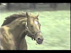 """When a horse Loves to full out run at his leisure, it is who he is. Wonderful video of Secretariat At Play when he was 12 yrs old. He defined """"Greatness"""". All The Pretty Horses, Beautiful Horses, Animals Beautiful, Horses And Dogs, Wild Horses, My Horse, Horse Love, The Great Race, Horse Videos"""