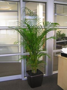Golden Cane palm by Nerida's Interior Plantscaping
