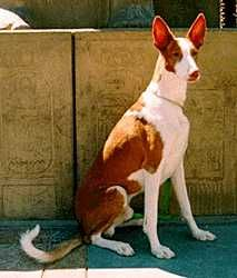 ibizan hound photo | Ibizan Hound, Information and Pictures, Ibizan Hounds