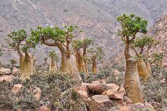 Le dragonnier n'est pas le seul arbre endémique de l'île de Socotra. Isolé pendant des millions d'années, ce territoire recèle d'espèces végétales uniques au monde à l'apparence très étrange, ce qui lui a valu le surnom d'île extraterrestre. Elle a été déclarée réserve de biosphère par l'UNESCO en 2003.