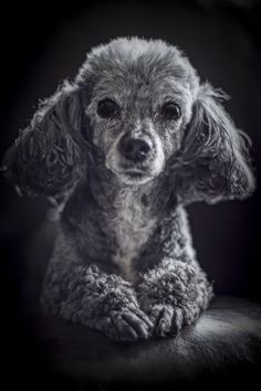 Toy Poodle, lifestyle dog photography, black white pet portraits ©Photographic Forte #poodle