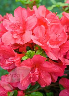Evergreen azalea Rhododendron 'Mother's Day' - this compact evergreen azalea which will add a burst of spring colour to your garden