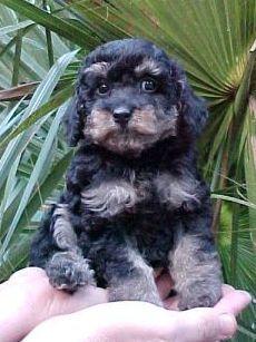 28 Best Phantom Poodles Images Phantom Poodle Poodle Dogs