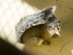 Phoenix Zoo -- endangered squirrel breeding -- the Mount Graham red squirrel