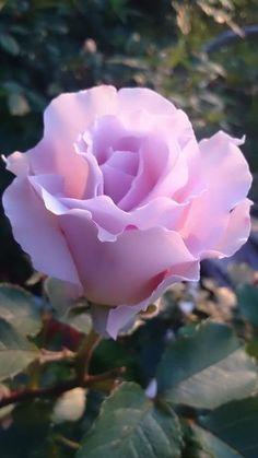 Beautiful Rose Flowers, Love Rose, Flowers Nature, Amazing Flowers, My Flower, Beautiful Flowers, Cactus Flower, Exotic Flowers, Deco Tumblr