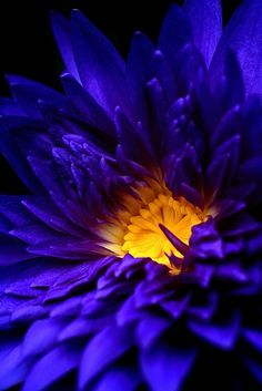 Blue Water Lily Some Great Wedding Flower Ideas Flowers play a sizeable position in setting the them Exotic Flowers, Amazing Flowers, My Flower, Beautiful Flowers, Colorful Roses, Flower Ideas, Mother Nature, Planting Flowers, Floral