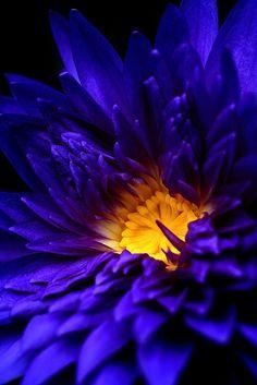 Cobalt Blue Dahlia