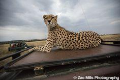 Up close, very close. Awesome cheetah encounter