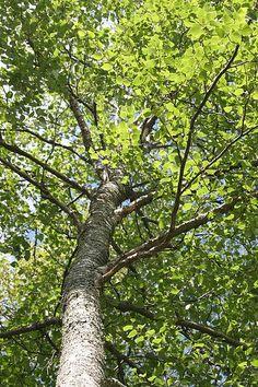 CISTITIS:  Es aconsejable una infusión de abedul, de cuyo árbol se cogerá un puñadito de hojas secas o frescas, que, como de costumbre, se dejará en reposo unos diez minutos. Se tomarán tres tazas al día debidamente espaciadas. Enviado por Rastreator
