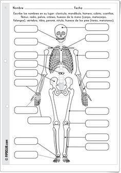 A great visual support or a way to activate prior knowledge as to what the students know about the bones in the human body. Health And Physical Education, Science Education, Teaching Science, Science For Kids, Science Activities, Science And Nature, Science Biology, Science Lessons, Life Science