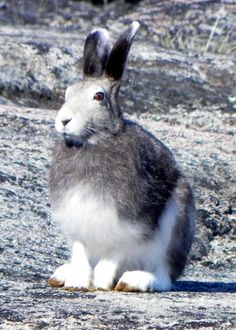 Elfshot: Sticks and Stones: Arctic Hare Arctic Hare, Wildlife, Bunny, Sticks, Cute, Rabbits, Eyes, Inspiration, Image