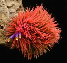 Tillandsia ionantha 'Monstrose'