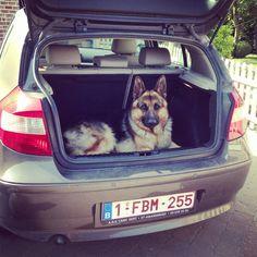 German Shepherd- Take me with you ! Pleeeze !