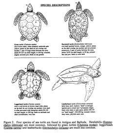 turtle skeleton diagram