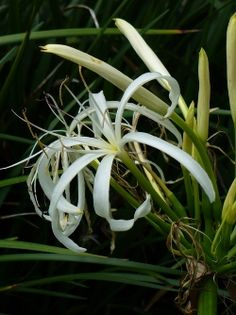 Southern Swamp Lily, Seven Sisters, String Lily, American Crinum