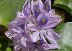 Water Hyacinth - An aquatic plant with fleshy green leaves and a swollen petiole. The flowers are mauve in colour. The Water Hyacinth is a rampant invasive alien from Tropical America which smothers water surfaces.