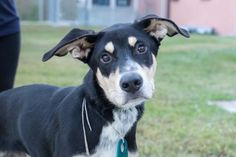 11/28/16- SUPER URGENT - HOUSTON FACILITY IS OVER CAPACITY -HENDRICKS - ID#A471653 My name is HENDRICKS I am a male, tricolor Border Collie mix. The shelter staff think I am about 10 months old. I have been at the shelter since Nov 03, 2016. This information was refreshed 53 minutes ago and may not represent all of the animals at the Harris County Public Health and Environmental Services.