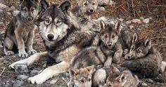 Resultado de imagen para lobo mexicano
