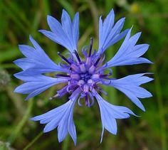 Centaurea cyanus or Bachelor's Button Blue Boy, also known as the cornflower