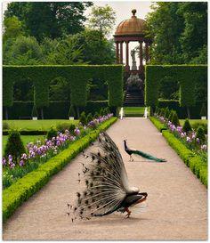 Peacocks roaming in the garden