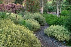 Westringia 'Smokey' featured in a California garden with Australian native plants