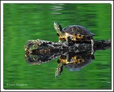 Green Water Turtle No. 2 ata Audubon Park, via Flickr.