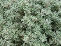 Oregano: Planting, Growing, and Harvesting Oregano Herbs | The Old Farmer's Almanac