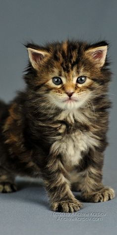 #maine coon #maincoon #cat #kitty beautiful and cute ♥♥♥