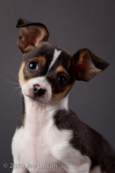 chiuaua rat terrier mix~   I love small dogs, esp...rat terrier.  Very smart and loving dogs~~~~
