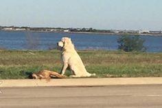 Cachorro que se recusou a deixar o corpo da amiga faz sucesso na web - Blue Bus