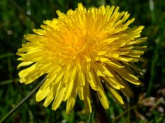 Dandelion Flower Essence is alchemy in a bottle. Dandelion Wine, Dandelion Leaves, Dandelion Flower, Dandelions, Health Remedies, Home Remedies, Natural Remedies, Make Your Own Wine, Living Off The Land