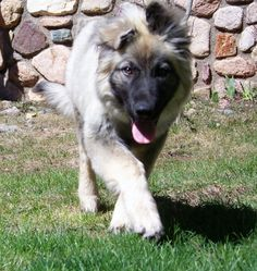 The American Alsatian is a large-breed companion dog. Its coat is medium in length and can be either gold, silver, black sable or cream. The American Alsatian is a great family companion dog. They are extremely loyal to their family members and accept children and other pets.