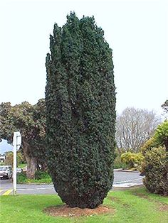 taxus fastigiata. Taller growing Taxus, growing to about 15' tall, and about 3' wide
