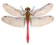Image result for australian dragonflies