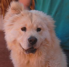 Mercury is a buoyant junior puppy debuting for adoption today at Nevada SPCA (www.nevadaspca.org).  He is a super cute, blond Chow Chow mix (likely 75% Chow Chow), 8 months of age and neutered.  Mercury was at another shelter that asked for our help because he is shy.  Though anxious with strangers, he blooms wonderfully with people he knows and trusts.