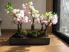 Cherry Bonsai group planting, from global.rakuten.com