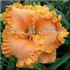 Rare 24 different colors Japanese bonsai hibiscus seeds 50PCS garden patio potted flowers