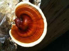 What is Magic Reishi Mushroom and Benefits?