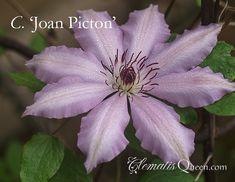 Clematis 'Joan Picton'