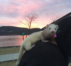 """It was such a nice day today. 80 in March. #ferret #Lucy #sunset #feelslikespring"""