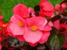 320px-Begonia_semperflorens_(dark_pink)_01.jpg (320×240)