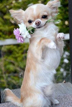 long haired chihuahua is ready to tango