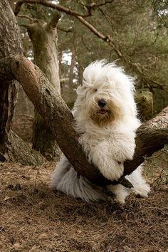 Old English Sheepdog--very cute, this is my favorite @ Elena Rivas Baby Animals, Funny Animals, Cute Animals, Animals And Pets, Cute Puppies, Dogs And Puppies, Cute Dogs, Doggies, Beautiful Dogs