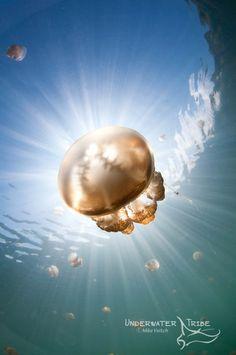 © Mike Veitch | Sunrays illuminate a jellyfish, Mastigias sp., Jellyfish Lake, Kakaban Island, Berau, Kalimantan, Borneo, Indonesia, Pacific Ocean
