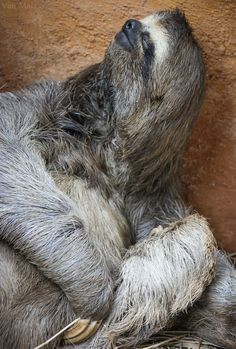Sloth Chilling Out