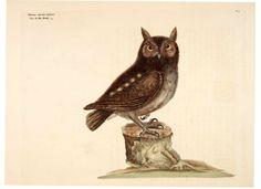 Animal - Bird - Catesby - Little Owl
