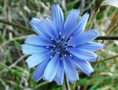 Shop for Chicory Seeds by the Packet or Pound.Com offers Hundreds of Seed Varieties, Including the Finest and Freshest Chicory Seeds Anywhere. Exotic Flowers, Blue Flowers, Wild Flowers, Beautiful Flowers, Herbal Remedies For Arthritis, Chicory Root, Design Jardin, Herb Seeds, Hardy Perennials