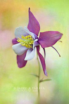 Macro flower photography (columbine): Jacky Parker...