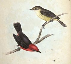 From Part 3, Birds, of Charles Darwin, Zoology of H.M.S. Beagle (1838-1843). Now on display in the Living Library exhibit, History of Science Collections, University of Oklahoma Libraries.