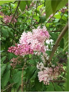 Fliederblüte rosa Plants, Pink, Florals, Photo Illustration, Plant, Planting, Planets